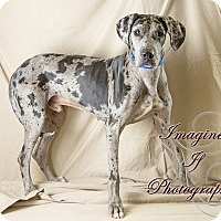 Adopt A Pet :: Ace the Dane - Newcastle, OK
