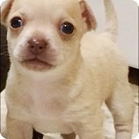 Adopt A Pet :: Sugar - Castro Valley, CA