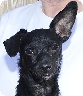 Chihuahua/Dachshund Mix Puppy for adoption in Independence, Missouri - Sheba