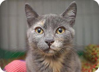 Calico Kitten for adoption in Alameda, California - Lizzy