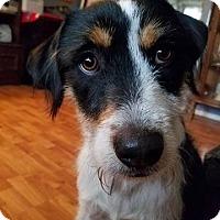 Adopt A Pet :: Steeler - ADOPTION PENDING - Hillsboro, IL