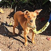 Adopt A Pet :: Link - Yuba City, CA