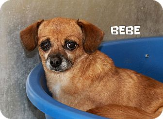 Chihuahua Mix Dog for adoption in Edgewood, New Mexico - Bebe