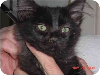 Domestic Mediumhair Kitten for adoption in Pendleton, Oregon - Little Man