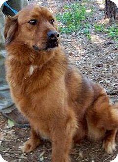 Golden Retriever/Labrador Retriever Mix Dog for adoption in Lebanon, Maine - Sadie-URGENT
