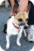 Corgi/Jack Russell Terrier Mix Dog for adoption in Brattleboro, Vermont - Callaway(Extremely Urgent)