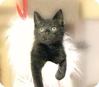 Domestic Shorthair Kitten for adoption in Richmond, Virginia - Kuma