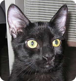 Domestic Shorthair Kitten for adoption in Winchester, California - Legato