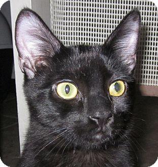 Domestic Shorthair Kitten for adoption in Winchester, California - Legato