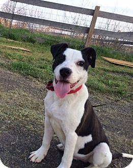 Alex   Adopted Puppy   Cranford, NJ   American Bulldog ...