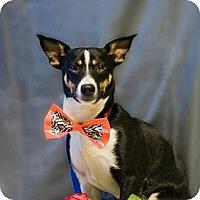 Adopt A Pet :: Kelsy - Golden Valley, AZ