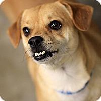 Adopt A Pet :: Buttons - housebroken! - Phoenix, AZ