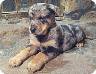 SOUTHINGTON, CT - Australian Shepherd/Rottweiler Mix. Meet ...Australian Shepherd Rottweiler Mix Information
