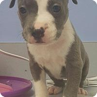 Adopt A Pet :: Babette - Scottsdale, AZ