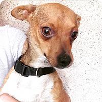 Adopt A Pet :: ITALIAN GREYHOUND BOY - Pompton Lakes, NJ
