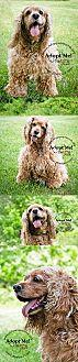 Cocker Spaniel Dog for adoption in Chantilly, Virginia - Misty