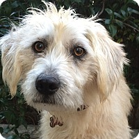 Adopt A Pet :: Dandi girl - San Francisco, CA