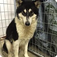 Adopt A Pet :: Asha - Roswell, GA