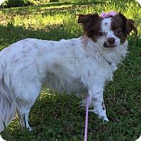 Adopt A Pet :: Cupcake - Starkville, MS