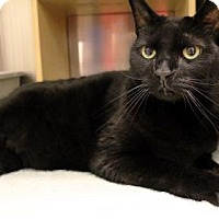 Domestic Shorthair Cat for adoption in Bellevue, Washington - Issa
