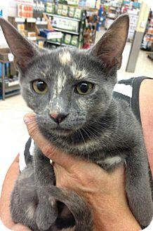 Domestic Mediumhair Kitten for adoption in Royal Palm Beach, Florida - Chai