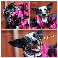 Dachshund/Corgi Mix Dog for adoption in Fort Worth, Texas - Layla