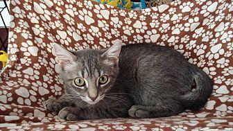 Domestic Shorthair Kitten for adoption in Middletown, New York - Lucky Star