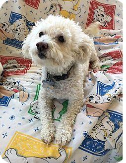 Bichon Frise/Poodle (Miniature) Mix Dog for adoption in Lodi, California - Freddie
