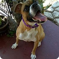 Boxer Dog for adoption in Hurst, Texas - Rhapsody