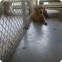 Adopt A Pet :: Lovely - Livingston Parish, LA