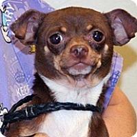 Chihuahua Mix Dog for adoption in Wildomar, California - Theodore
