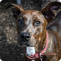 Pit Bull Terrier/Doberman Pinscher Mix Dog for adoption in Pontiac, Michigan - Pony