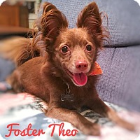 Chihuahua/Dachshund Mix Dog for adoption in Apex, North Carolina - Theo