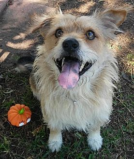 Collie Mix Dog for adoption in Dallas, Texas - BOSCO