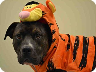 American Pit Bull Terrier Mix Dog for adoption in Overland Park, Kansas - A074700 Dat
