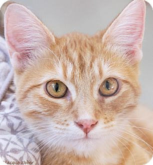 Domestic Shorthair Cat for adoption in St Louis, Missouri - Epperson