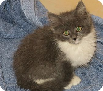 Domestic Longhair Kitten for adoption in Bedford, Virginia - Sequoia