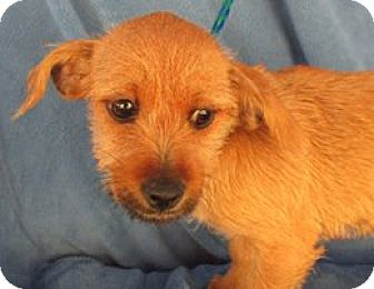 Chihuahua/Terrier (Unknown Type, Medium) Mix Dog for adoption in Pt. Richmond, California - SHIRLEY