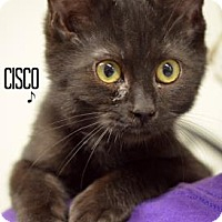 Domestic Shorthair Kitten for adoption in Niagara Falls, New York - Cisco