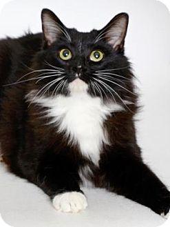 Domestic Mediumhair Cat for adoption in Gloucester, Virginia - MIDNIGHT