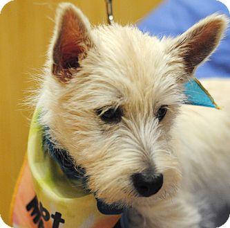 Westie, West Highland White Terrier Dog for adoption in Omaha, Nebraska - Mike-pending adoption