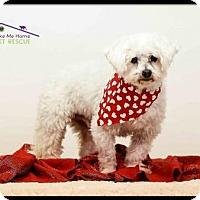 Adopt A Pet :: Ash - Richardson, TX