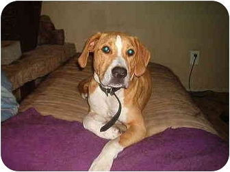 Hound (Unknown Type)/Labrador Retriever Mix Dog for adoption in North Jackson, Ohio - Willy