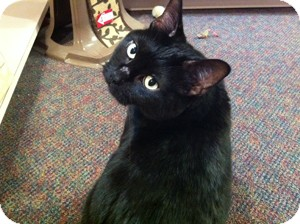 Domestic Shorthair Cat for adoption in Topeka, Kansas - Sophie