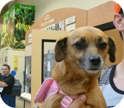 Chihuahua/Dachshund Mix Dog for adoption in Westley, California - Peggy Sue
