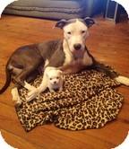 Pit Bull Terrier/Terrier (Unknown Type, Medium) Mix Dog for adoption in Staunton, Virginia - Miss Juniper Breeze