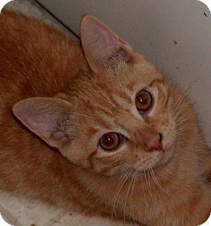 Domestic Shorthair Cat for adoption in Milford, Ohio - Sunny D