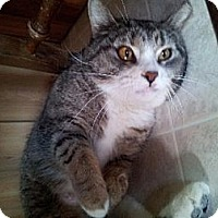 Domestic Shorthair Cat for adoption in Phoenix, Arizona - Cleopatra