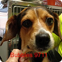 Adopt A Pet :: Bubbles - baltimore, MD