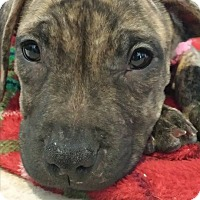 Adopt A Pet :: Poptart - Southampton, PA